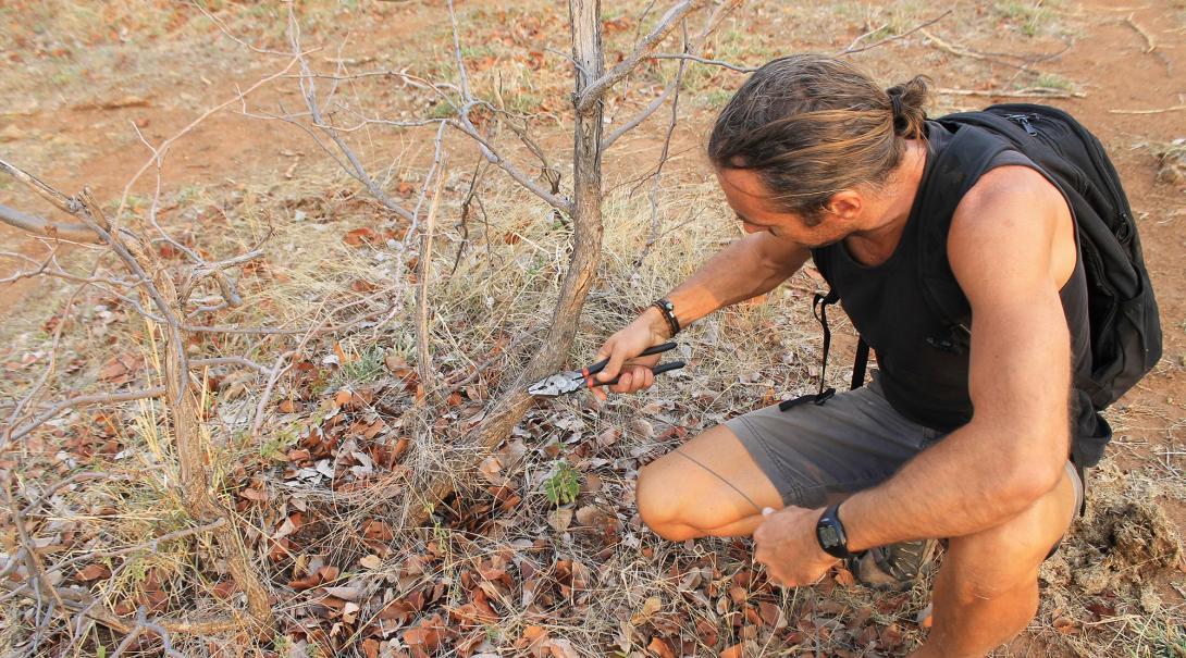 En Projects Abroad naturskyddsvolontär bekämpar tjuvjakt genom att ta bort ståltrådssnaror på Wild at Tuli-reservatet i Botswana